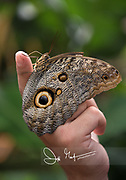 A Caligo memnon or giant owl butterflies clings to a person's finger.