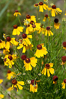 Bitterweed, (Helenium amarum), Gillespie County, Texas