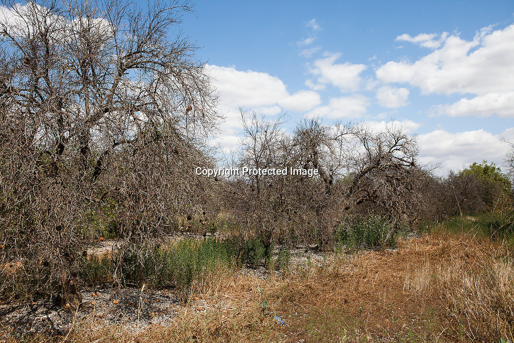 Dead orange trees located east of Tulare that received no water.