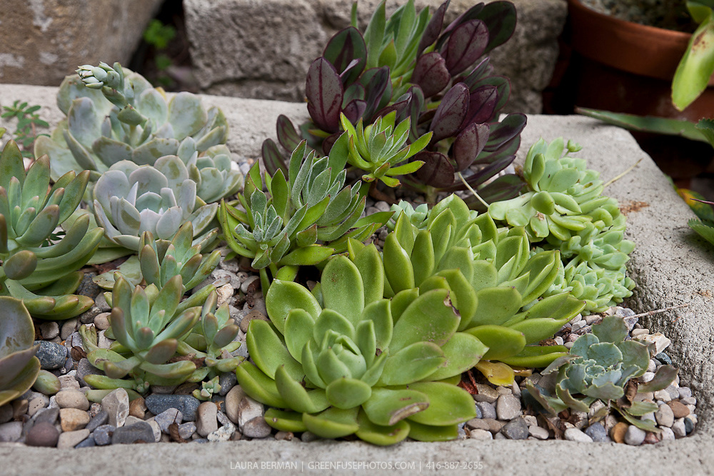 Various succulent plants growing in a trough container garden