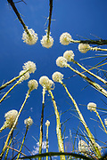 MT00127-00...MONTANA - Beargrass (Xerophyllum tenax) along the Swiftcurrent Pass Trail in Glacier National Park.