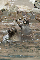 Guadalupe Fur Seal Performing