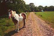 Piebald horse, at Glastonbury, 1989.