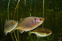 European bitterling (Rhodeus amarus), males during breeding season, river Eider, Germany | Bitterlinge (Rhodeus amarus) Männchen zur Laichzeit, Eider, Deutschland