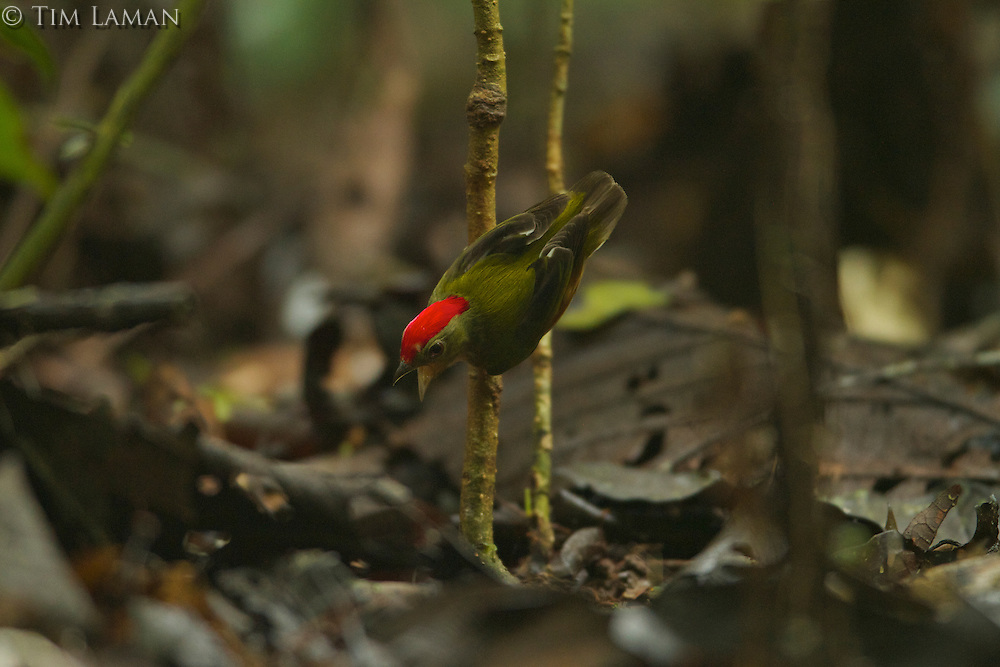 Striped Manakin (Machaeropterus regulus) .male at his display perch..Tiputini Biodiversity Station, Amazon Rain Forest, Ecuador.