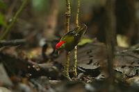 Striped Manakin (Machaeropterus regulus) .male at his display perch..Tiputini Biodiversity Station, Amazon Rain Forest, Ecuador.