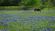 Texas Bluebonnets in bloom