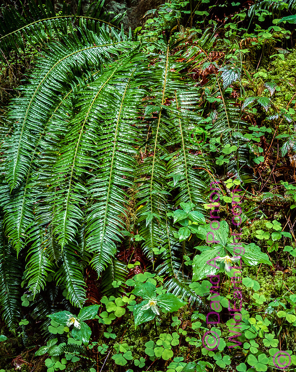 Sword fern, trillium flowers and wood-sorrel wet with spring rain, Olympic National Forest, Washington, © 1995 David A. Ponton  [From 4x5 original]