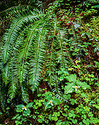 Sword fern, trillium flowers and wood-sorrel wet with spring rains, Olympic National Forest, Washington, © 1995 David A. Ponton  [From 4x5 original]