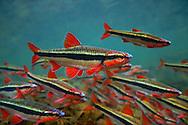Duskystripe Shiner<br /> <br /> Isaac Szabo/Engbretson Underwater Photography