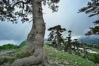 Cuirassed Pines (Pinus leucodermis) at the Grande Porta del Pollino, Pollino National Park, Italy; WWoE Mission