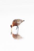 The Black-tailed Godwit, Limosa limosa, is a large, long-legged, long-billed shorebird. Its breeding range stretches from Iceland through Europe  and areas of central Asia.