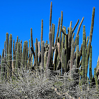 Kadushi Cactus in Noord District, Aruba <br />