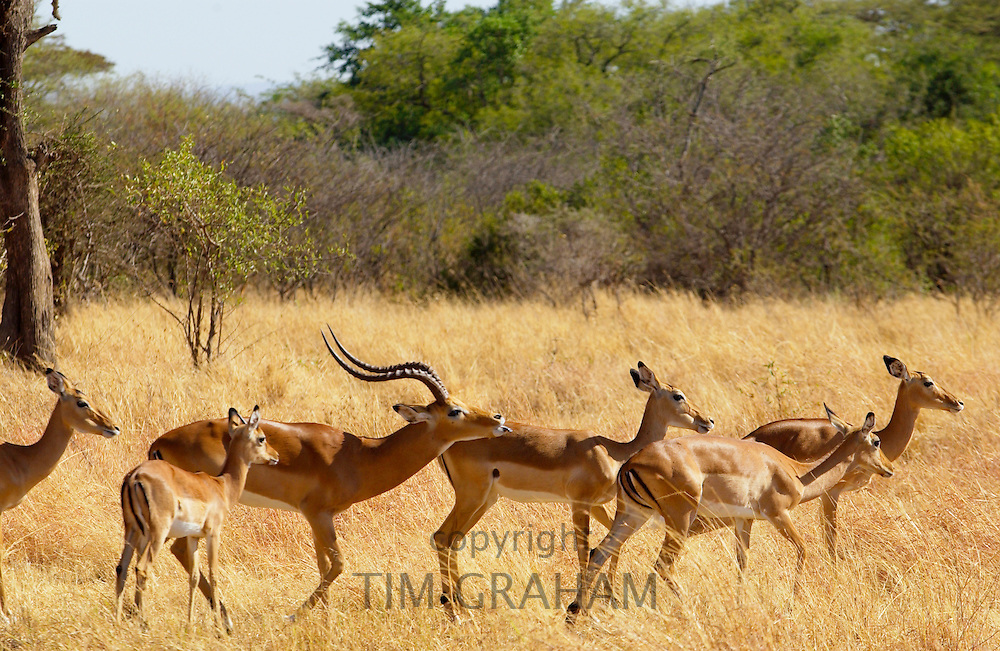 Male Impala with curved horns chasing and scenting a female,  Grumeti, Tanzania