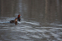 A pair of Redheads swim in the pond at Carburn Park...©2009, Sean Phillips.http://www.Sean-Phillips.com