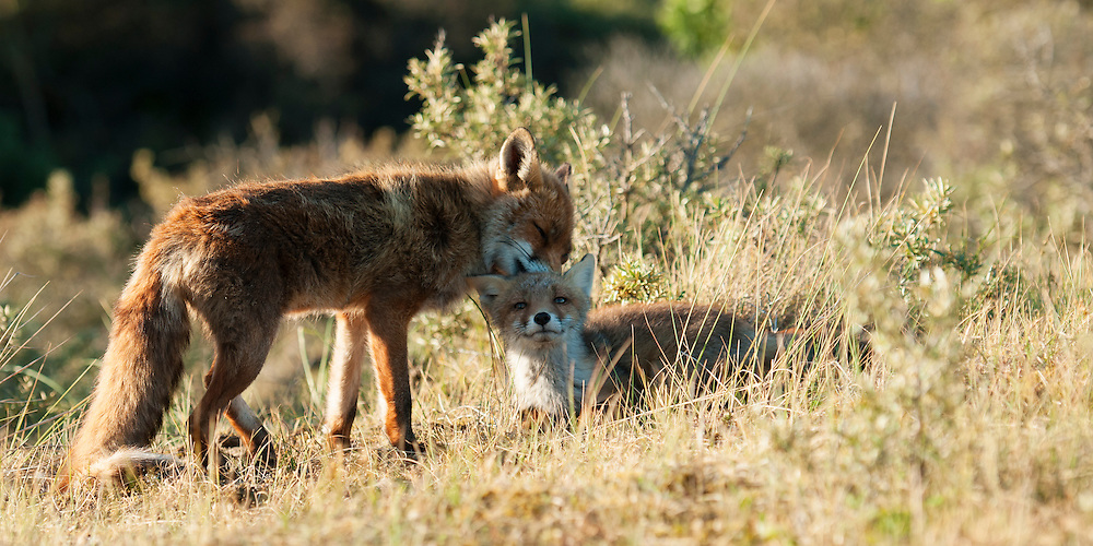 Red fox (vulpus vulpus) vixen removes ticks from her cub so that it stays healthy and strong. Amsterdamse waterleidingduinen, The Netherlands. 2011,