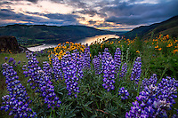 Wild lupine and yellow balsomroot wildflowers bloom on Rowena Crest in the Columbia River Gorge early on a Spring day.