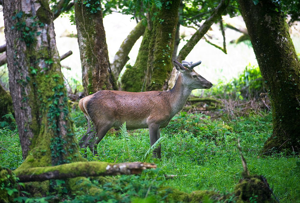 A deer in Killarney National Park.