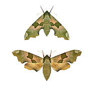 69.001 (1979)<br /> Lime Hawk-moth - Mimas tiliae