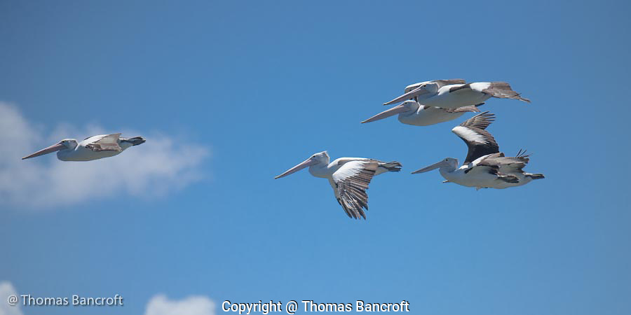 The Australian pelicans fixed their seven-foot wings and began to glide in an effortless manner.