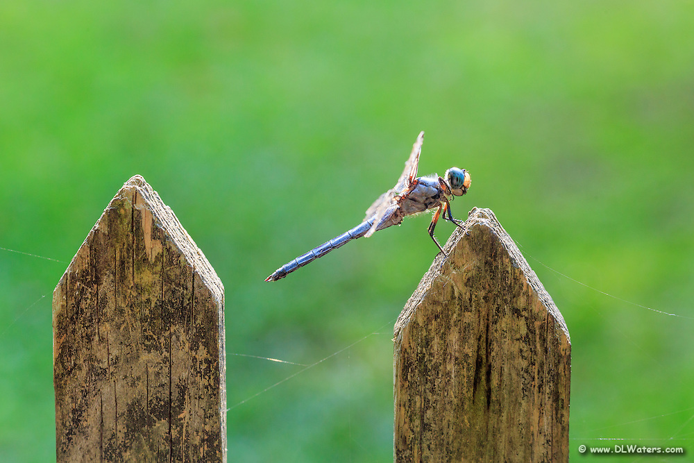 Dragonfly on a picket fence in Corolla on the Outer Banks, NC.