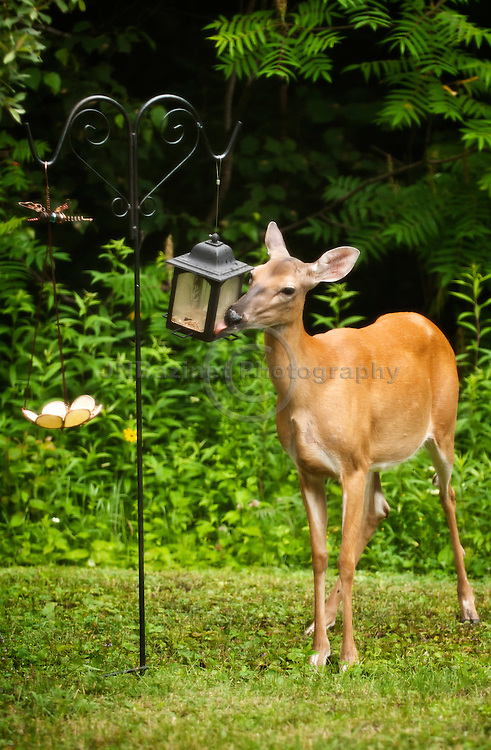A White-tailed deer feeds on seed from a bird feeder in Gatineau, QC.