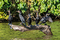 cormorants standing in branch in the peruvian Amazon jungle at Madre de Dios Peru
