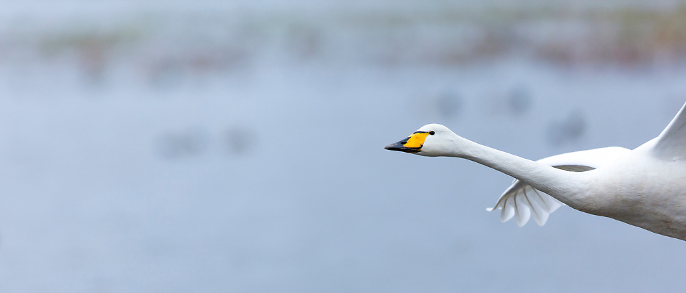 Whooper Swan, Cygnus cygnus, in flight at Welney Wetland Centre, Norfolk, UK