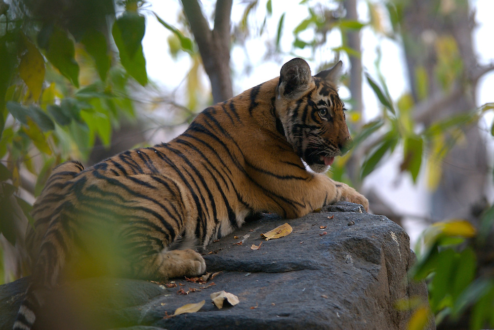 Female tiger cub on rock