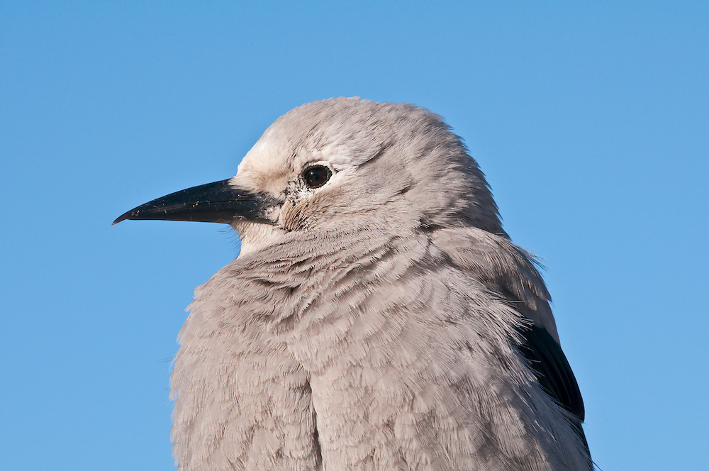 Clark's Nutcracker, Nucifraga columbiana, Lake Louise, Banff National Park, Alberta, Canada