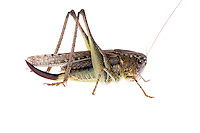 IFTE-NB-007713; Niall Benvie; Platycleis albopunctata grisea; Europe; Austria; Tirol; Fliesser Sonnenhänge; invertebrate arthropod insect grasshopper; horizontal; high key; brown white; controlled; female; adult; one; upland grassland meadow woodland edge; 2008; July; summer; strobe backlight; Wild Wonders of Europe Naturpark Kaunergrat