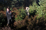 Cutting conifer trees from heathland to use as Christmas trees, Hollesley heath, Suffolk, England
