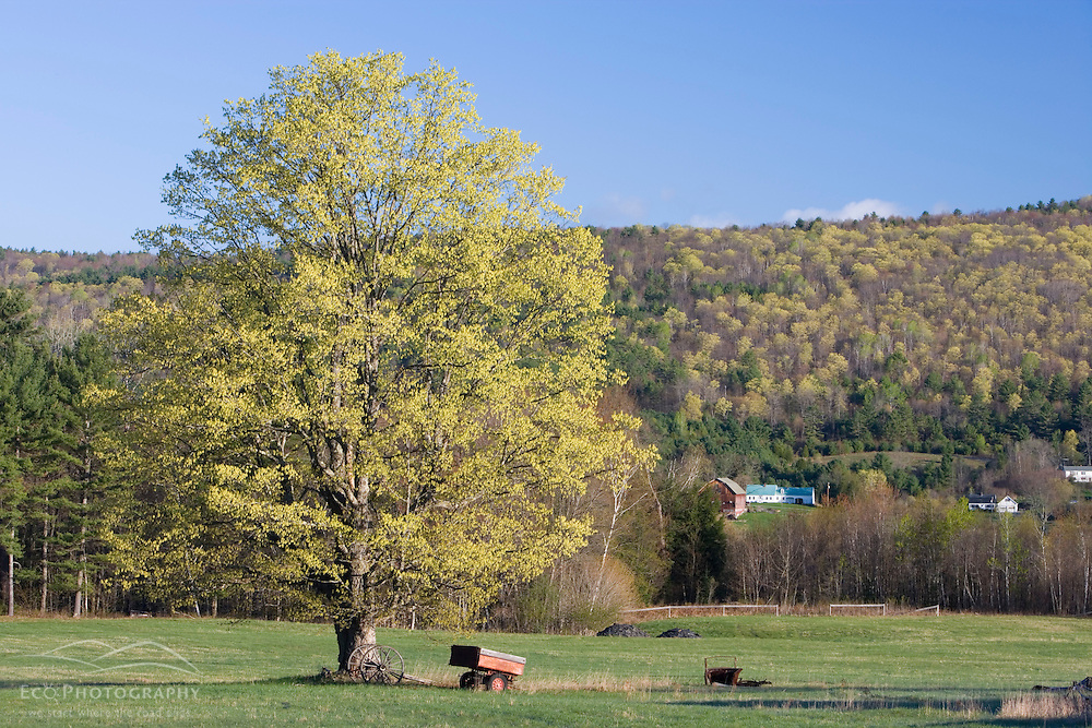 A maple tree in spring on a farm in Littleton New Hampshire USA