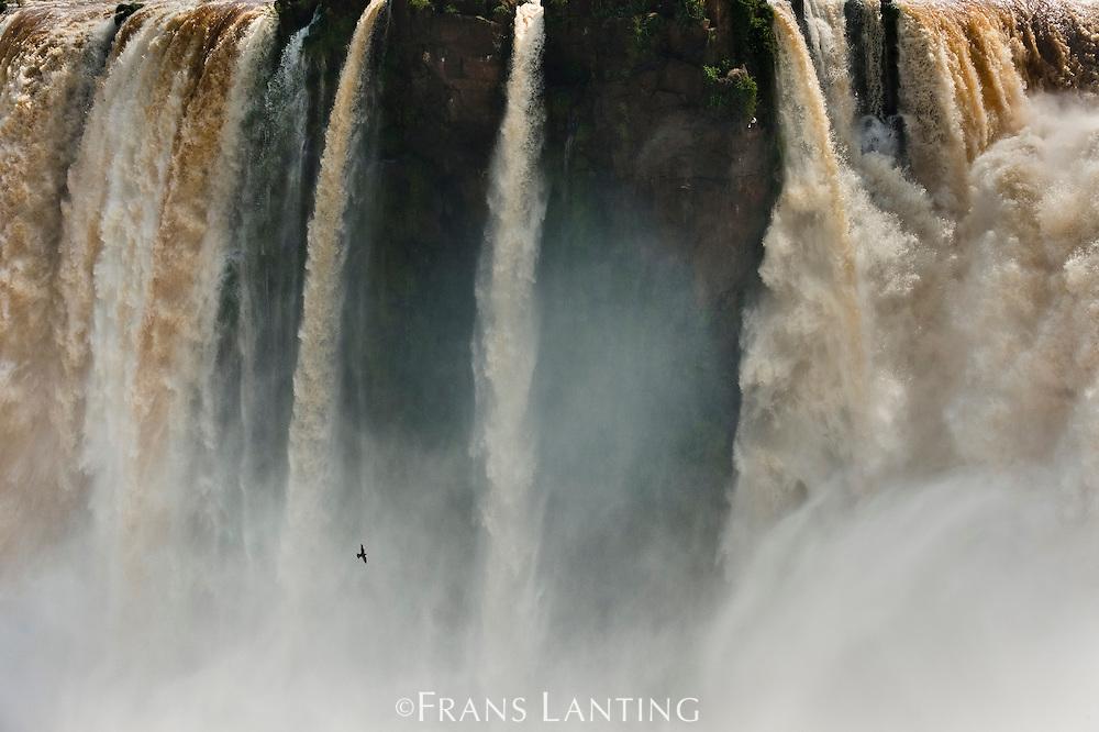Iguazu Falls with great dusky swift, Cypseloides senex, Iguazu National Park, Argentina