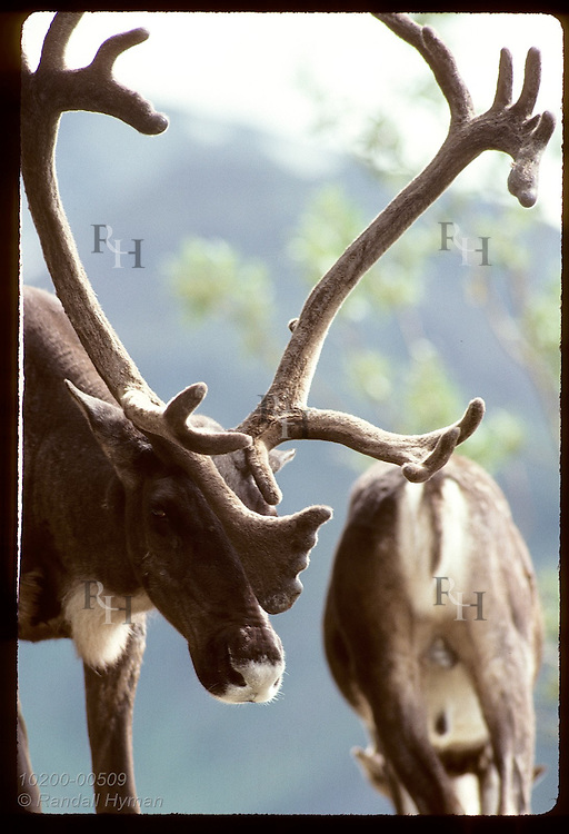 Caribou bull lowers head under weight of full antlers in velvet on August day; Denali National Park. Alaska