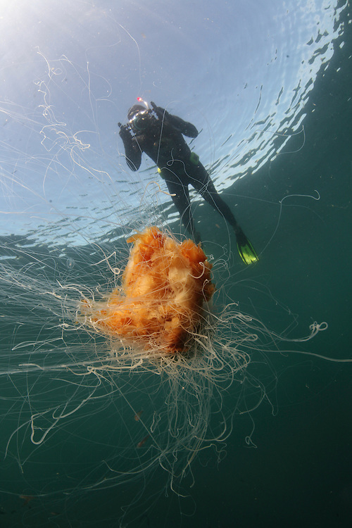 Lion&acute;s mane jellyfish (Cyanea capillata); in the area of the Island of Mull; Scotland. June 2009.<br /> Model release form n&ordm; 1<br /> Mission: Basking Sharks<br /> Location: Scotland, off the Island of Mull (Coll and Tiree Islands area) - June 2009