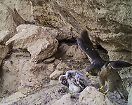 Displaced 3 week old nestling peregrine falcon with prey on the ledge he was placed on when found on the talus slope, with adult female hopping up on a nearby rock, apparently having just delivered the food.  © 2015 David A. Ponton [photo by motion-activated camera, low-resolution limits repro. size]