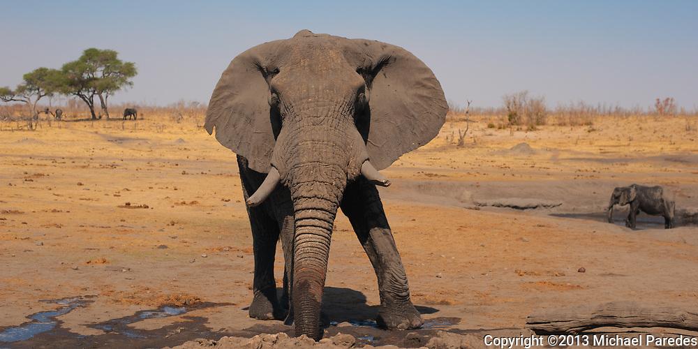An wild elephant appears to pose at Hwange National Park, Zimbabwe