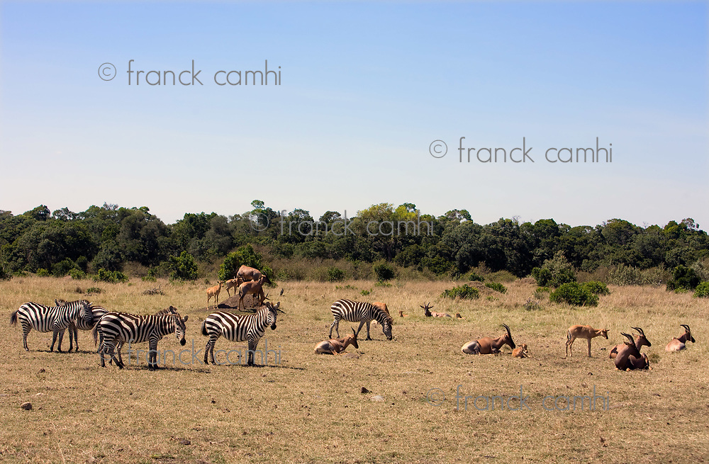 zebras and topis grazing in the beautiful reserve of masai mara in kenya africa