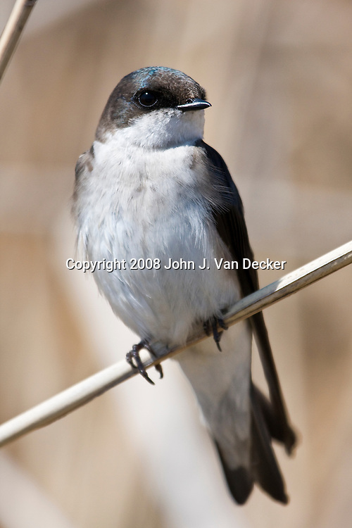 Tree Swallow perched on reed