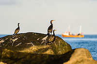 Norway, Klepp. Great Cormorants on a rock at Sele.