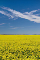 Fields of bright yellow canola blossoms, Alberta Canada