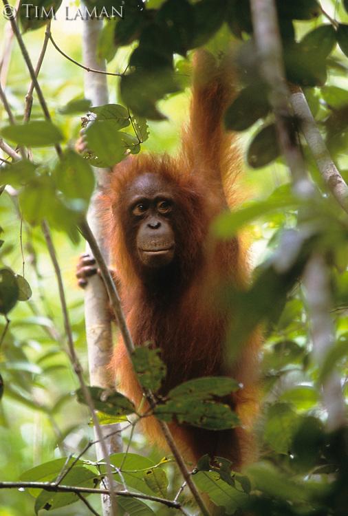 A young Bornean Orangutan (Pongo pygmaeus) hangs on vines in Gunung Palung National Park, West Kalimantan, Indonesia.