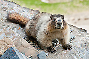 "The hoary marmot (Marmota caligata) is the largest North American ground squirrel and is often nicknamed ""the whistler"" for its high-pitched warning issued to alert other members of the colony to possible danger. Hike the Garden Wall trail from Logan Pass in Glacier National Park, Montana, USA. Published in 2013 for ""Ranger Rick, Jr. Appventures: Bears App""."