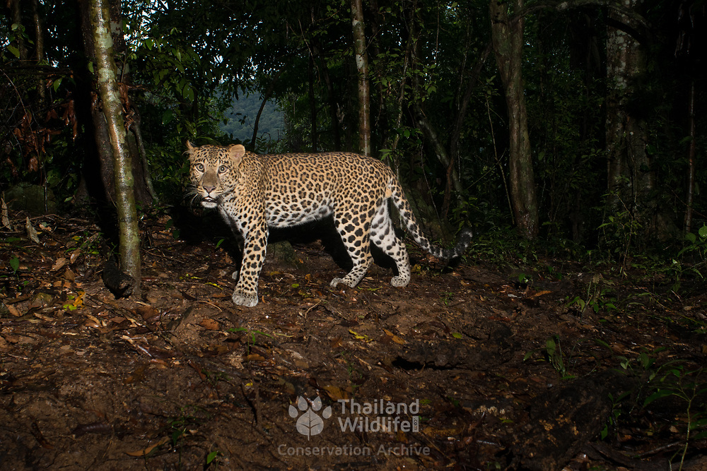 The Indochinese leopard (Panthera pardus delacouri) is a leopard subspecies native to mainland Southeast Asia and southern China.  As of 2016, the worldwide population is thought to comprise upto 2500 mature individuals, with only 500–1,000 breeding adults.
