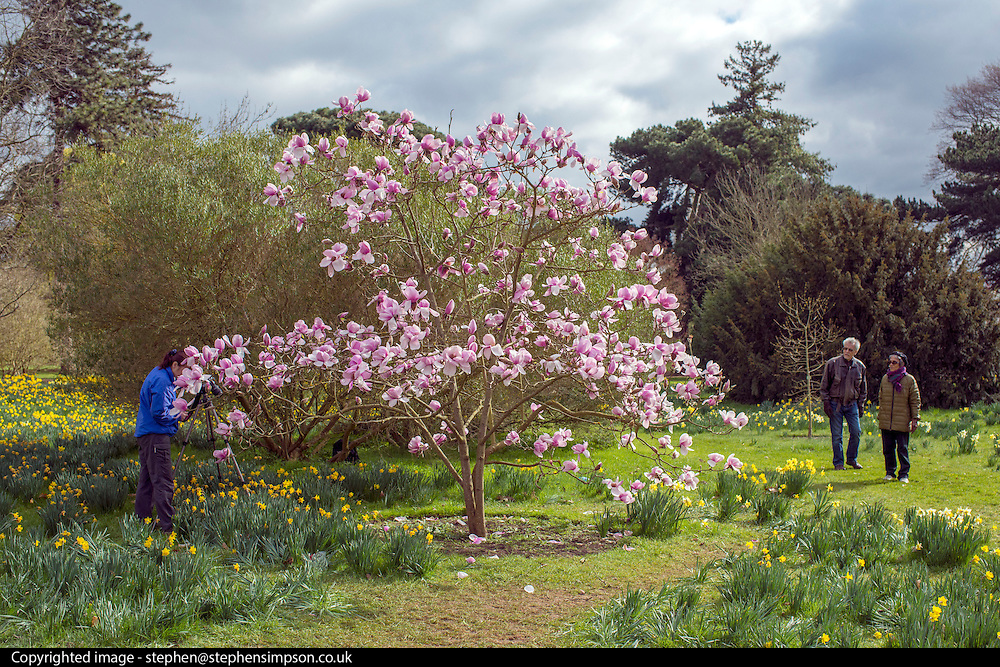 © Licensed to London News Pictures. 17/03/2014. Kew, UK People admire a magnolia tree amongst the daffodils. People enjoy the occasional sunshine at Kew Gardens today 17th March 2014. Photo credit : Stephen Simpson/LNP