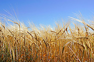 Barley Crop.<br /> <br /> Larger JPEG + TIFF images available by contacting use through our contact page at : www.effectiveworkingimage.com