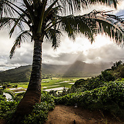 Palm tree in Kauaia Island (Hawaii)