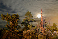 North America, America, USA, American, Oregon, Central, Badlands, Wilderness, Old Growth Juniper Trees at night