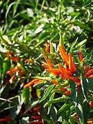 "U.S.A., New Mexico. Las Cruces, New Mexico State University chili garden. ""NuMex Sunburst"""